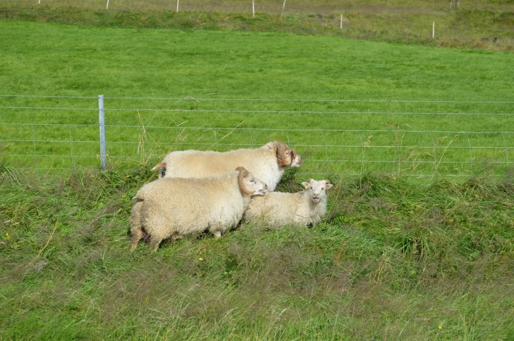 Icelandic Sheep
