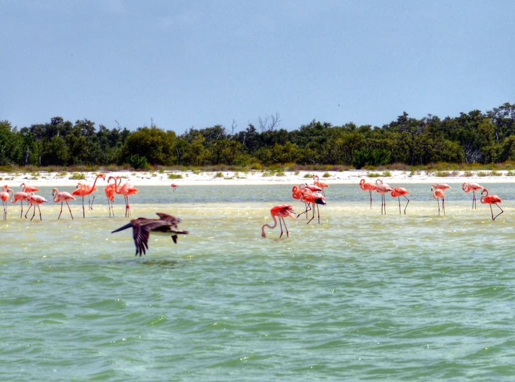 Flamingos on Isla Holbox